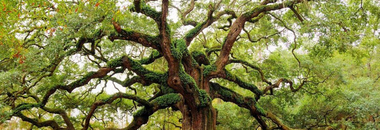 Angel Oak,Johns Island,South Carolina, USA