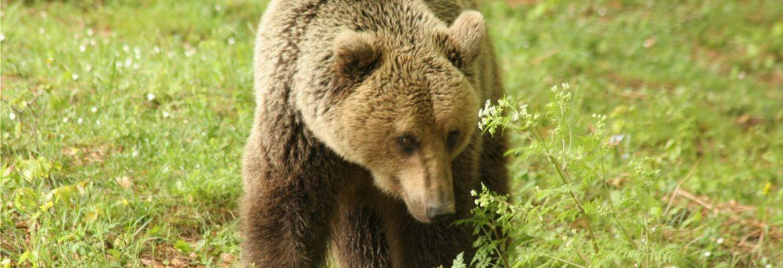 Arcturos Bear Sanctuary,Nymfaio, Greece