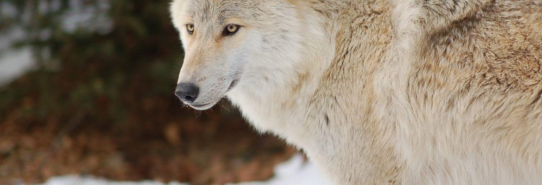 Lakota Wolf Preserve, Columbia, New Jersey, USA