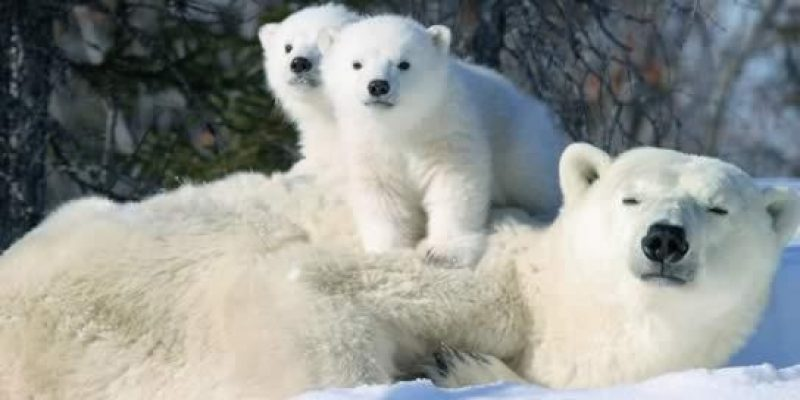 Manitoba Polar Bear Alert,Churchill, MB Canada