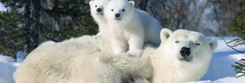 Churchill Polar Bears, MB, Hudson Bay, Canada