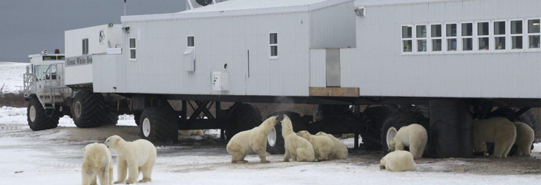 Polar Bears Watching, Train from Winnipeg Railway Station to Churchill, MB Canada