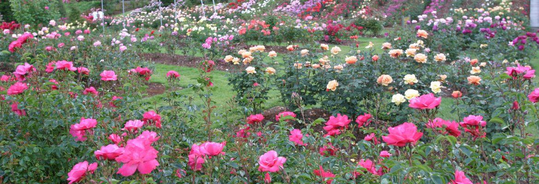 International Rose Test Garden, Portland,Oregon, USA