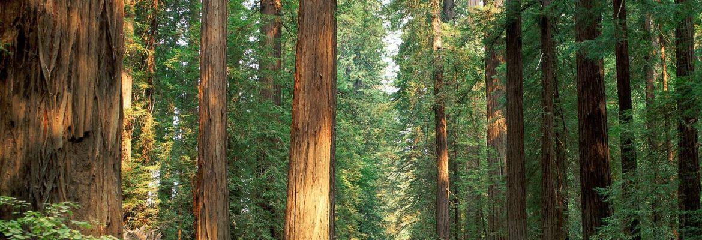 Humboldt Giant Redwoods State Park,California, USA