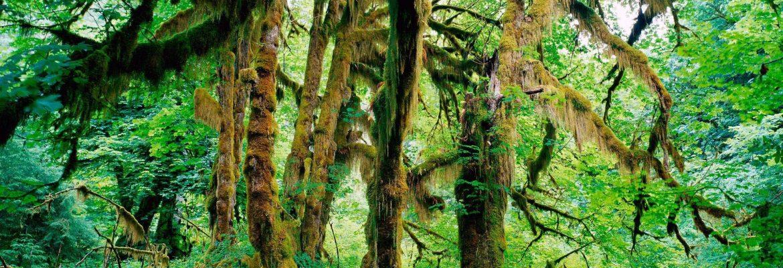 Hoh Rain Forest, Olympic National Park,Washington, USA