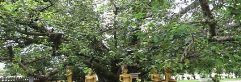 Bodhi Tree,Daijokyo Buddist Temple, Bihar, India