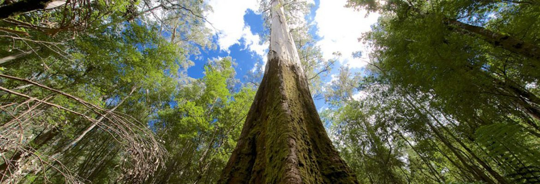 Tall Trees Walk,Mount Field National ParK, Tasmania, Australia