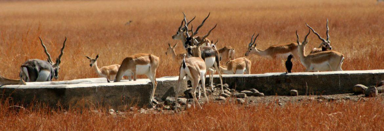 Blackbuck National Park,Gujarat, India